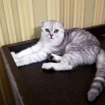 Шотландская кошка, в Москве