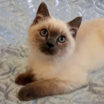 Котик британец котята-домашние любимцы, в г.Краснодар