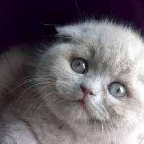 Лиловые вислоухие котята, в Санкт-Петербурге