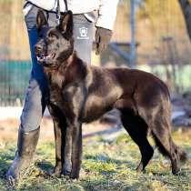 Красавица Айза, молодая добрая домашняя собака в добрые руки, в г.Санкт-Петербург
