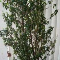 Мирт,25 см, молодое растение, в г.Москва