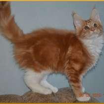 Котята мейн-кун из питомника от чемпионов породы, в Санкт-Петербурге