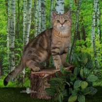 Британский мраморный котик, в г.Санкт-Петербург