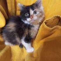 Трёхцветный котенок кошечка, в г.Краснодар