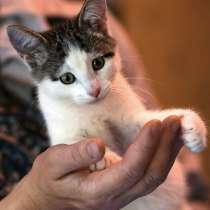 Пропеллер с хвостиком, домашний котенок Рыся в дар, в г.Санкт-Петербург