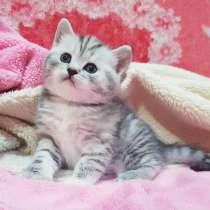 Шотландские котята с рекламы ВИСКАС, в г.Минск