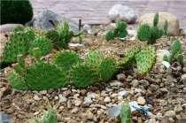 Юкка нитчатая, кактус - экзотика в саду. Саженцы, в Воронеже