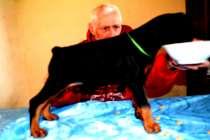 Щенки добермана от Чемпиона Европы,2 мес, в Санкт-Петербурге