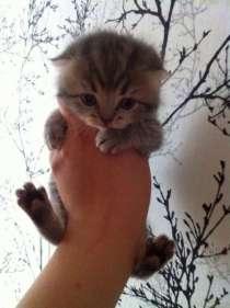 Шотландских и Британских котят., в Нижневартовске