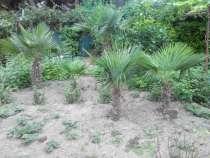 Продам пальмы веерные, в г.Ялта