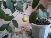 Лимон плодоносящий, в Екатеринбурге