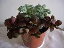 Фиттония,молодое растение, в Москве