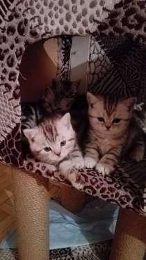 Чистокровные мраморные британские котята, в Ижевске