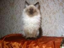 Котята породы Невская маскарадная, в Москве