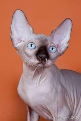 Поднимет Ваше настроение котёнок сфинкс! в Нижнем Новгороде Фото 4