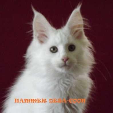 Белые котята мейн-кун из питомника