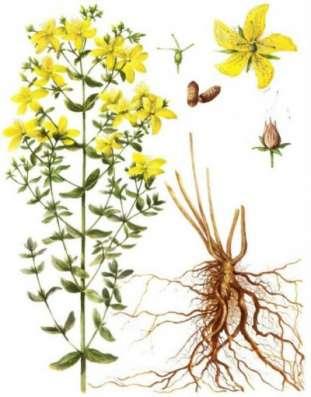 Аптечные травы. Семена для выращивания
