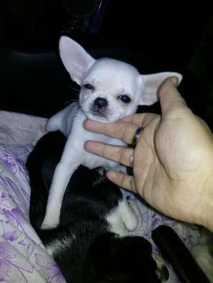 Продаю 3 месячного щенка чихуахуа