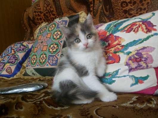 Котята Мальчик белый. Девочка трехцветка