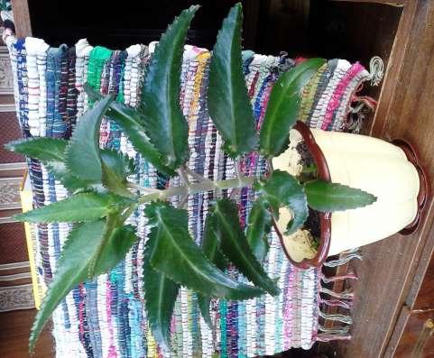 Пальма, каланхоэ, растения домашние