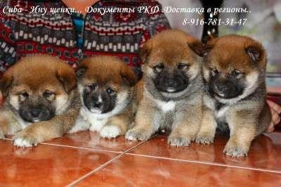 Шиба Ину (маленькая Акита) щенки..