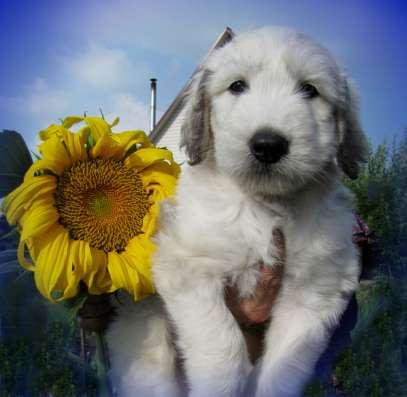 Продам щенков южно русской овчарки с родословной, очень кра-