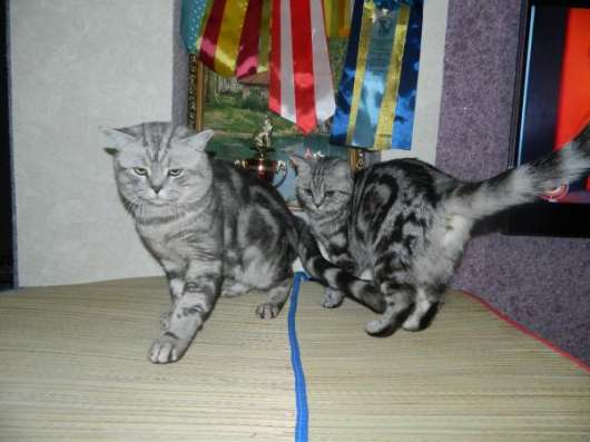 Шикарные британские котята в Ульяновске Фото 1