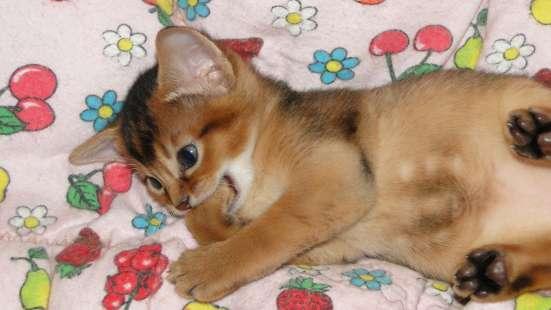 Абиссинские котята от титулованных производителей