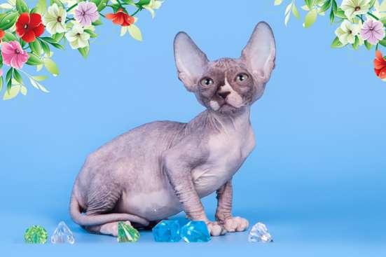 Cфинкс, это кошка с другой планеты в Саратове Фото 5