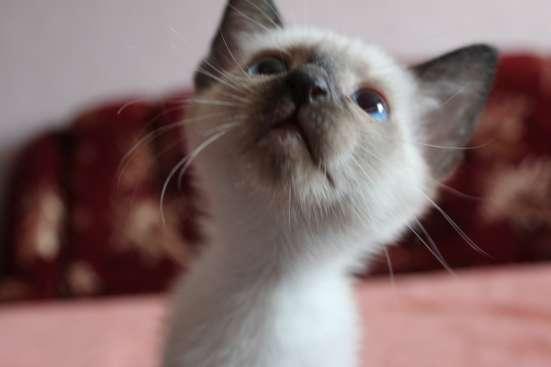 Котята сноу-шу