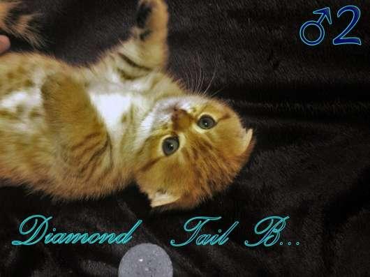 Шотландские вислоухие котята золотого окраса в г. Севастополь Фото 5