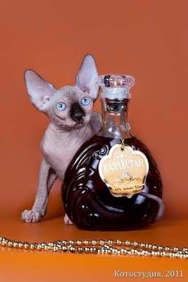 Поднимет Ваше настроение котёнок сфинкс! в Нижнем Новгороде Фото 5