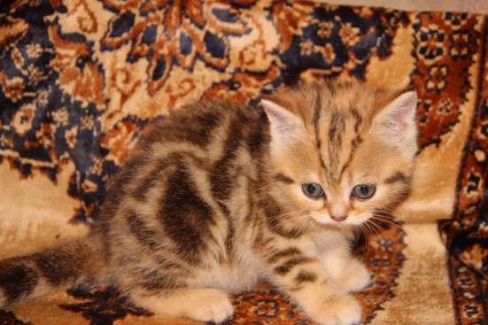 Чистокровные котята в Нижнем Новгороде Фото 2