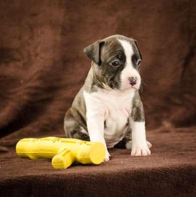 For Sale American Staffordshire Terrier puppy UKU в г. Киев Фото 3