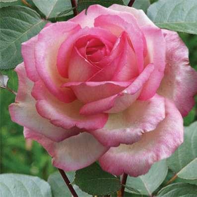 Саженцы элитных роз