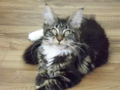 Котята породы мейн-кун в г. Нальчик Фото 3