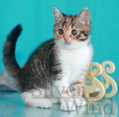 Кошечка - скоттиш страйт