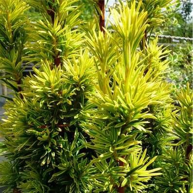 Хвойные растения. Саженцы зкс в Воронеже Фото 4