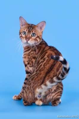 Бенгальские котята из профессионального питомника OutletGold в Казани Фото 2