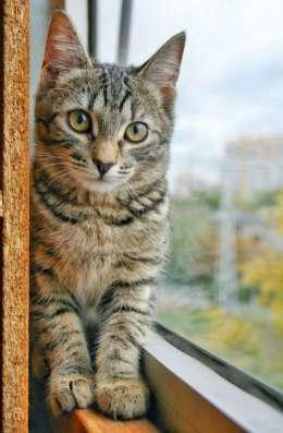 Отдам даром Жизнерадостная котенок Анфиса яркая тигр