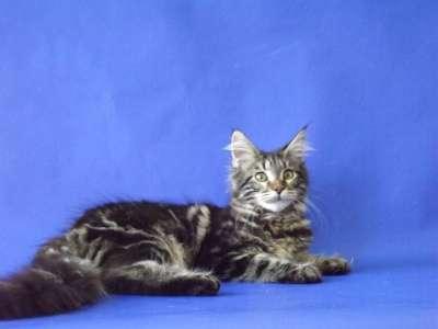 Котята мейн-кун в Новочеркасске Фото 4