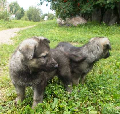 Щенки восточноевропейской овчарки в г. Вологда Фото 4