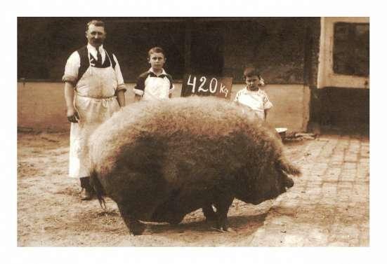 Поросята Венгерской пуховой мангалицы