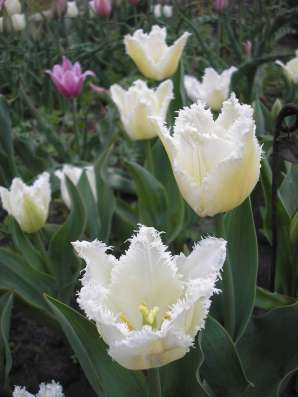 Тюльпаны и эрэмурусы