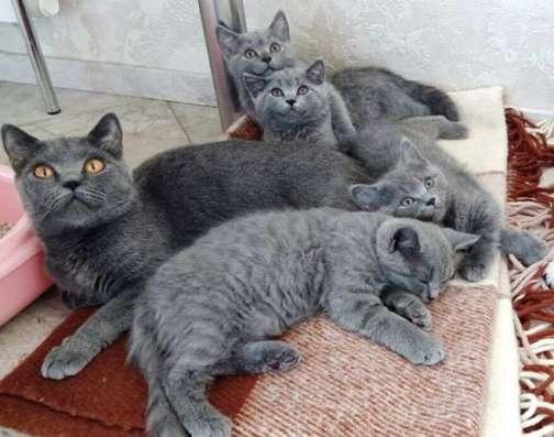 Роскошные британские котята из профессионального питомника