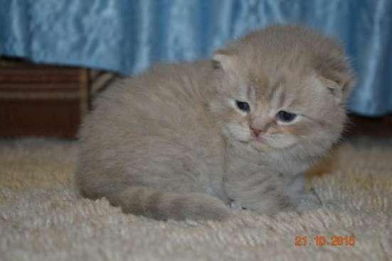 Шотландские котятки в Подольске Фото 2