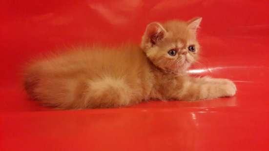 Американские экзотические котята. Вязка
