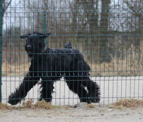 Русский черный терьер 1 год