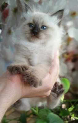 Невский маскарадный котёнок - девочка
