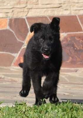 Черный щенок немецкой овчарки